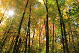 Sugar Maple forest