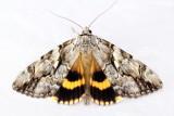 Yellow-banded Underwing, Hodges#8802 Catocala cerogama
