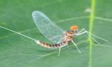 Order Ephemeroptera - Mayflies