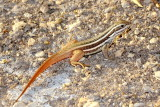 Cuban Curlytail Lizard (Leiocephalus cubensis)