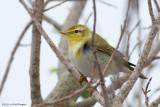 Phylloscopus sibilatrix / Fluiter / Wood warbler