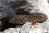 Tarentola mauritanica / Muurgekko  / Moorish Gecko