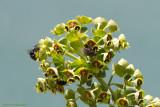 Wolfsmelk / Euphorbia
