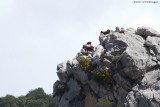 Capra hircus balearctica / Mollorcaanse Wilde Geit / Balearctic Wild Goat