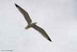 Larus michahellis / Geelpootmeeuw /  Yellow-Legged Gull