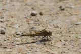 Orthetrum cancellatum / Oeverlibel / Black-tailed Skimmer