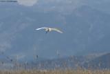 Egretta Alba / Grote Zilverreiger / Great White Heron