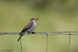 Muscicapa striata / Grauwe Vliegenvanger /  Spotted Flycatcher