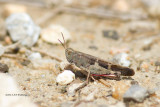 Oedipoda germanica / Roodvleugelsprinkhaan / Red-winged grasshopper