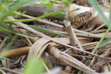 Natrix Maura  / Adderringslang / Viperine Snake