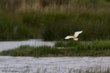 Ardeola ralloides / Ralreiger / Squacco Heron