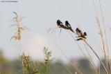 Hirundo rustica / Boerenzwaluw / Barn swallow