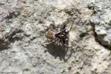 Menemerus semilimbatus / Springspin (spec.) / Menemerus