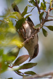 Sylvia melanocephala / Kleine Zwartkop / Sardinian warbler