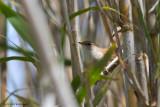 Cettia cetti / Cetti's zanger / Cetti's warbler