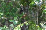 Luscinia megarhynchos / Nachtegaal / Nightingale