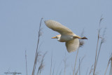 Ardeola ibis / Koereiger / Cattle egret