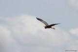 Ardea purpurea / Purperreiger / Purple Heron