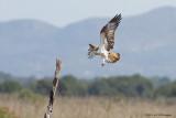 Pandion haliaetus / Visarend / Osprey