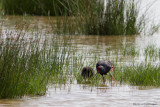 Porphyrio porphyrio / Purperkoet / Purple Swamp-hen