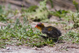 Fulica Cristata / Knobbelmeerkoet / Red-knobbed Coot