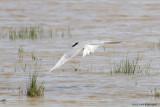 Gelochelidon nilotica / Lachstern / Gull-billed tern