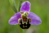 ophrys apifera var. apifera