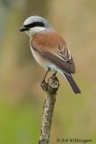 Grauwe Klauwier / Red-backed Shrike