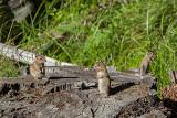Buddies sharing a stump