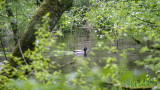 Duck on Wooded Pond
