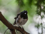 Dark-eyed 'Oregon' Junco