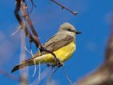 Flycatchers, Kingbirds and Shrikes
