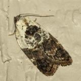 3530 Garden Rose Tortrix Moth (Acleris variegana)