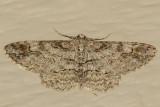 6589 (Iridopsis emasculatum)