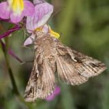 8914 Alfalfa Looper Moth (Autographa californica)