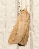 10438 Armyworm Moth (Mythimna unipuncta)