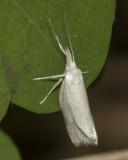 2351 (Euceratia castella)