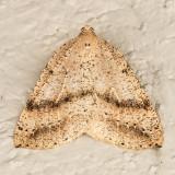 6809 (Thallophaga hyperborea)