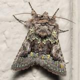 10178 (Behrensia conchiformis)