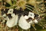 7308 Half-white Carpet Moth (Mesoleuca gratulata)