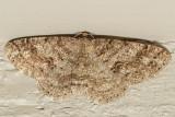 6618 Western Carpet (Melanolophia imitata)