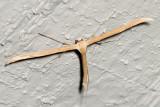 Plume Moth (Pterophorini tribe)