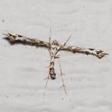 6118 Geranium Plume Moth (Amblyptilia pica)