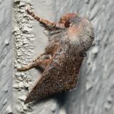 10478 (Orthosia pulchella)