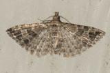 2313 Montana Six-plume Moth (Alucita montana)
