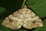 6344 Pale-marked Angle (Macaria signaria)