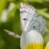 6666 Bluish Spring Moth (Lomographa semiclarata)