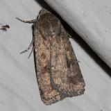 9653 Mottled Rustic (Caradrina morpheus)