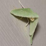 7013 Bank's Emerald Moth (Chlorosea banksaria)
