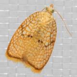 3501 Maple Leaftier (Acleris forsskaleana)